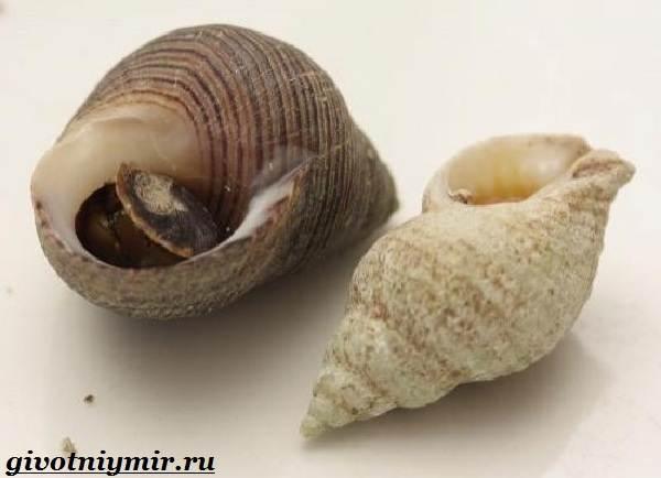 Трубач-моллюск-Образ-жизни-и-среда-обитания-трубача-4