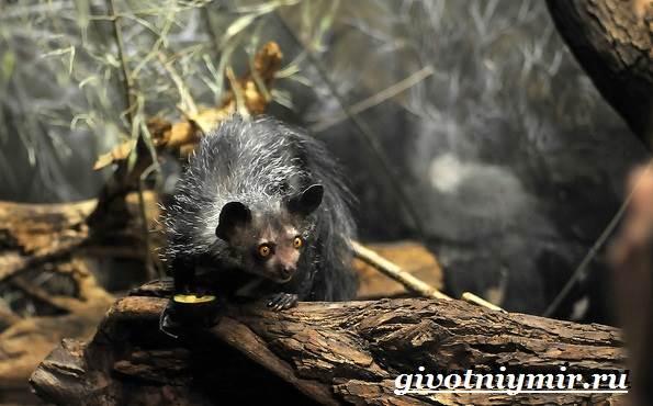 Ай-ай-животное-Образ-жизни-и-среда-обитания-ай-ай-6