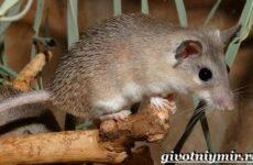 Акомис мышь. Образ жизни и среда обитания акомиса