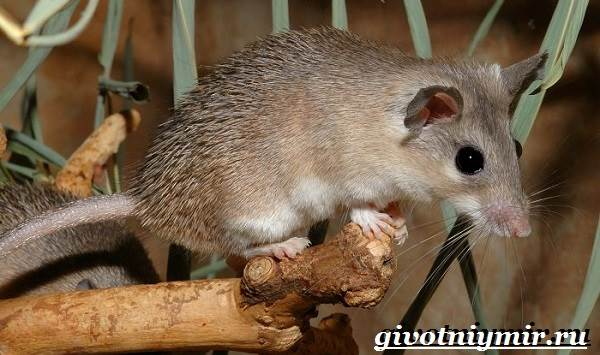 Иглистая мышь: содержание акомиса дома
