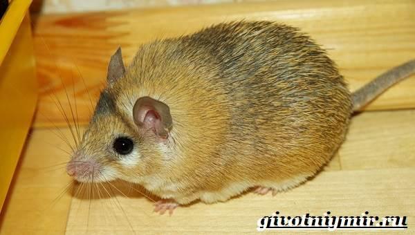 Акомис-мышь-Образ-жизни-и-среда-обитания-акомиса-2