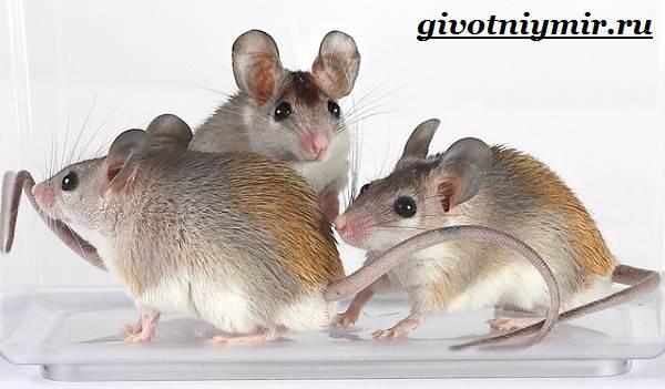 Акомис-мышь-Образ-жизни-и-среда-обитания-акомиса-4