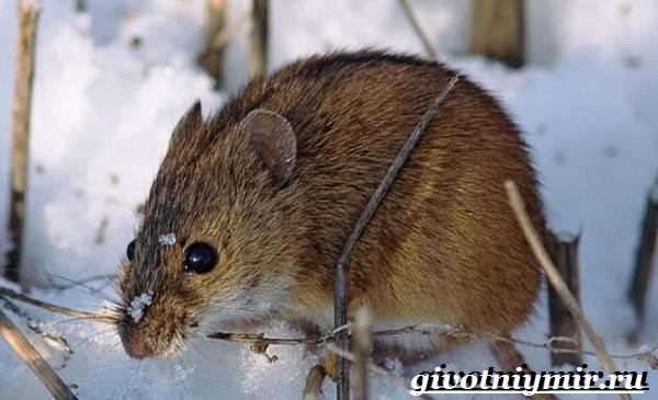 Акомис-мышь-Образ-жизни-и-среда-обитания-акомиса-5