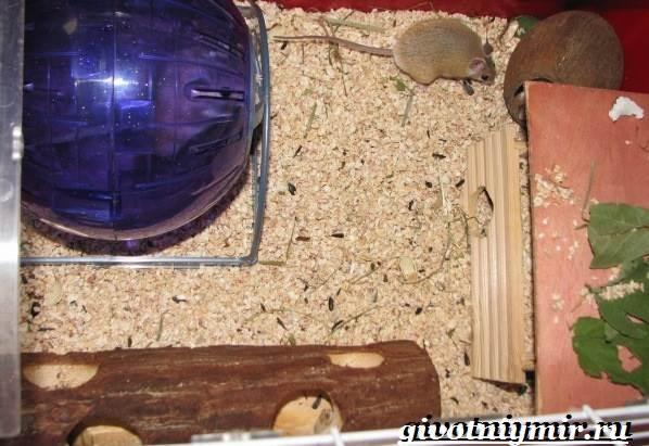 Акомис-мышь-Образ-жизни-и-среда-обитания-акомиса-6