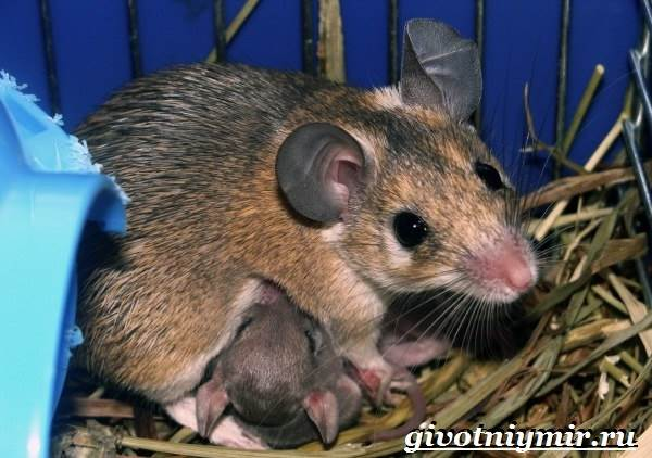 Акомис-мышь-Образ-жизни-и-среда-обитания-акомиса-8