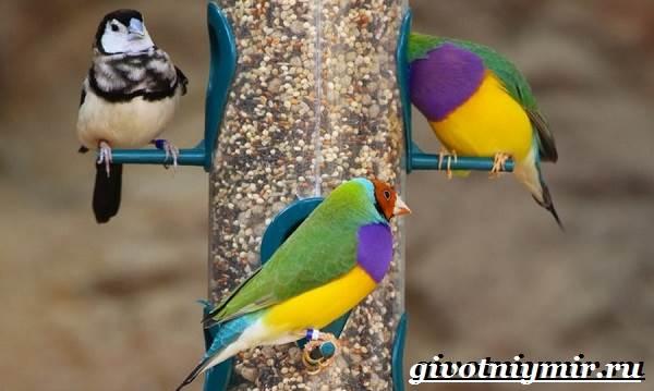 Амадин-птица-Образ-жизни-и-среда-обитания-птицы-амадины-10