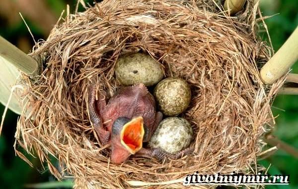 Амадин-птица-Образ-жизни-и-среда-обитания-птицы-амадины-12