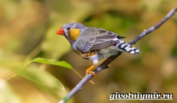 Амадин-птица-Образ-жизни-и-среда-обитания-птицы-амадины-2
