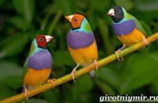 Амадин птица. Образ жизни и среда обитания птицы амадины