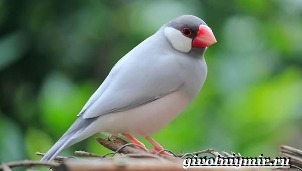 Амадин-птица-Образ-жизни-и-среда-обитания-птицы-амадины-4