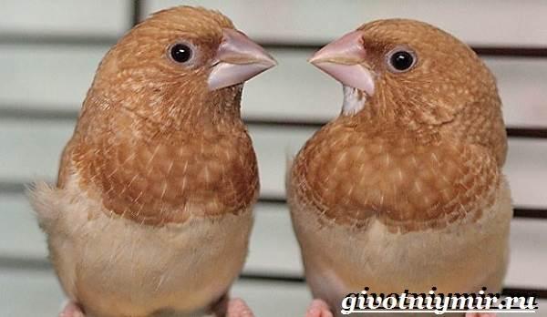 Амадин-птица-Образ-жизни-и-среда-обитания-птицы-амадины-5