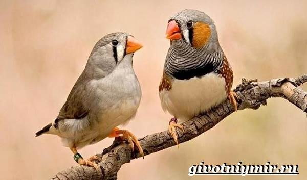 Амадин-птица-Образ-жизни-и-среда-обитания-птицы-амадины-6