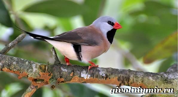 Амадин-птица-Образ-жизни-и-среда-обитания-птицы-амадины-7