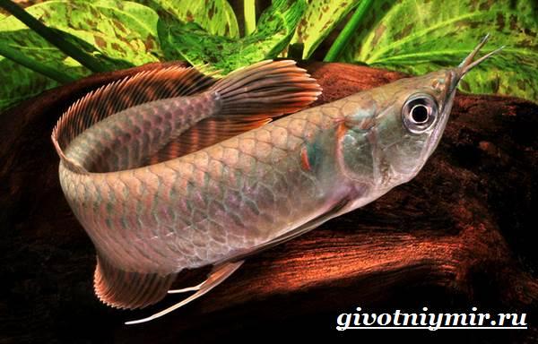 Арована рыба. Описание, особенности, содержание и цена арована