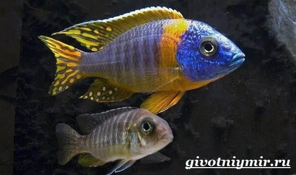 Аулонокара-рыба-Описание-особенности-содержание-и-цена-аулонокары-1