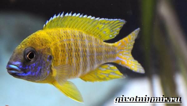 Аулонокара-рыба-Описание-особенности-содержание-и-цена-аулонокары-10