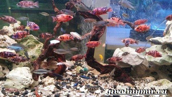 Аулонокара-рыба-Описание-особенности-содержание-и-цена-аулонокары-2