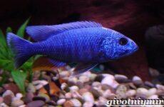 Аулонокара рыба. Описание, особенности, содержание и цена аулонокары