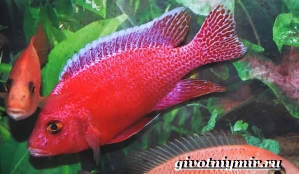 Аулонокара-рыба-Описание-особенности-содержание-и-цена-аулонокары-5