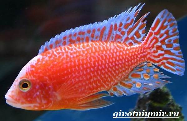Аулонокара-рыба-Описание-особенности-содержание-и-цена-аулонокары-6