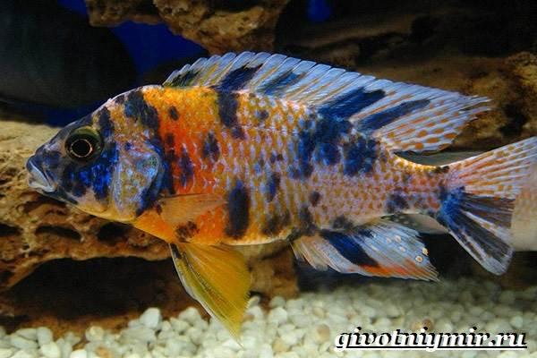 Аулонокара-рыба-Описание-особенности-содержание-и-цена-аулонокары-7