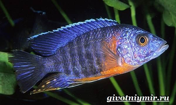Аулонокара-рыба-Описание-особенности-содержание-и-цена-аулонокары-8
