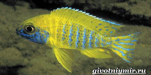 Аулонокара-рыба-Описание-особенности-содержание-и-цена-аулонокары-9