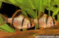 Барбус рыба. Описание, особенности, содержание и цена барбуса