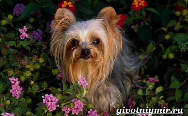 Бивер-йорк-собака-Описание-особенности-уход-и-цена-бивер-йорка-1