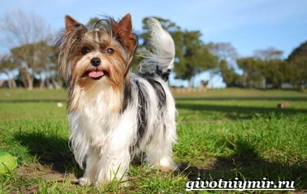 Бивер-йорк-собака-Описание-особенности-уход-и-цена-бивер-йорка-5