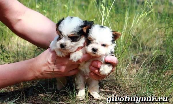 Бивер-йорк-собака-Описание-особенности-уход-и-цена-бивер-йорка-8