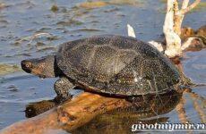 Болотная черепаха. Образ жизни и среда обитания болотной черепахи