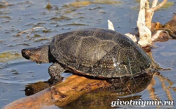 Болотная-черепаха-Образ-жизни-и-среда-обитания-болотной-черепахи-1