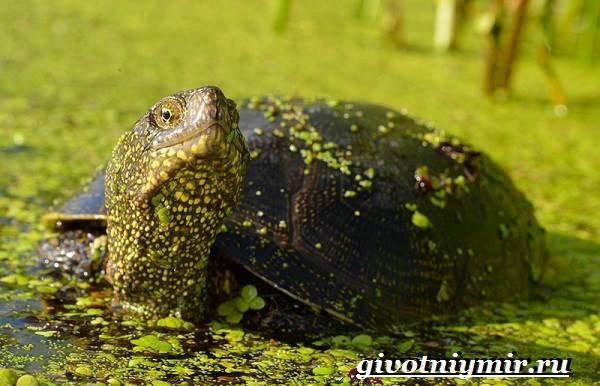 Болотная-черепаха-Образ-жизни-и-среда-обитания-болотной-черепахи-2
