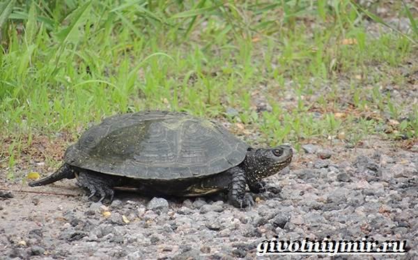 Болотная-черепаха-Образ-жизни-и-среда-обитания-болотной-черепахи-3
