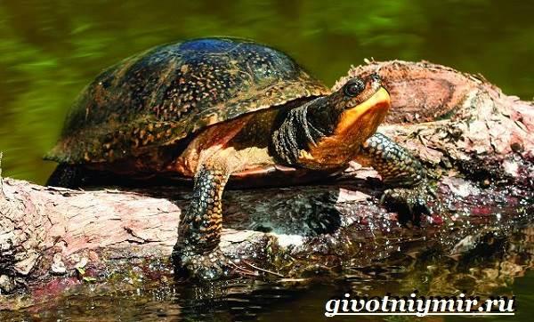 Болотная-черепаха-Образ-жизни-и-среда-обитания-болотной-черепахи-4