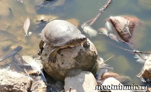 Болотная-черепаха-Образ-жизни-и-среда-обитания-болотной-черепахи-5