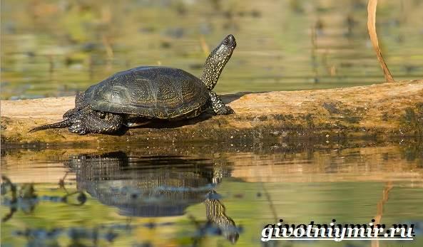 Болотная-черепаха-Образ-жизни-и-среда-обитания-болотной-черепахи-6