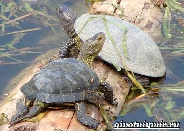 Болотная-черепаха-Образ-жизни-и-среда-обитания-болотной-черепахи-7