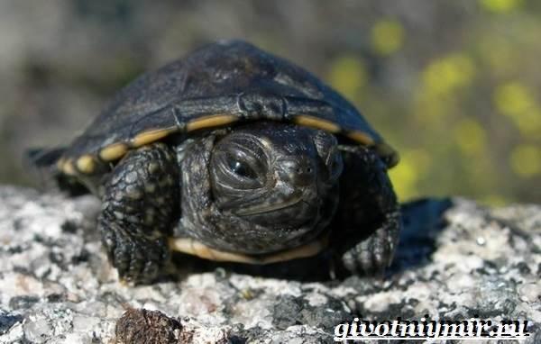 Болотная-черепаха-Образ-жизни-и-среда-обитания-болотной-черепахи-9