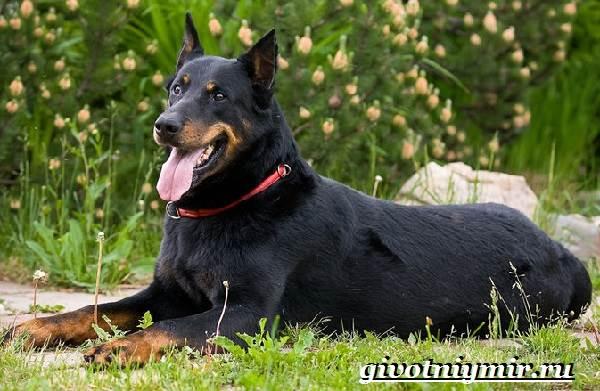 Босерон-собака-Описание-особенности-уход-и-цена-собаки-босерон-1