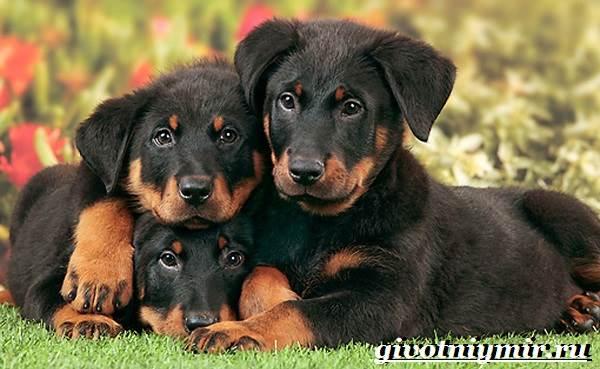 Босерон-собака-Описание-особенности-уход-и-цена-собаки-босерон-12