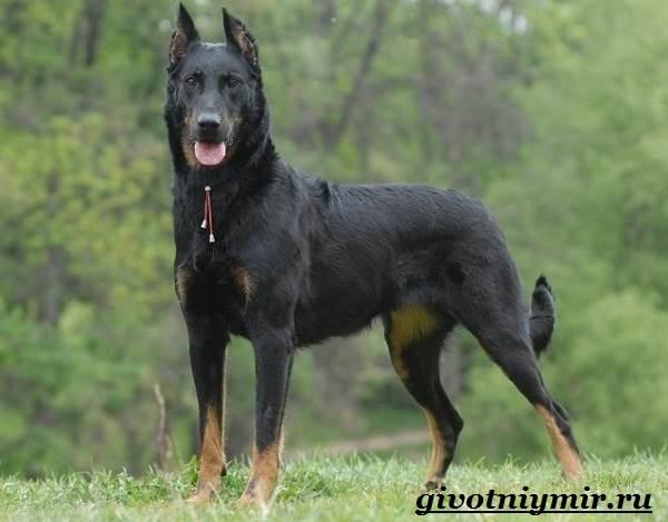 Босерон-собака-Описание-особенности-уход-и-цена-собаки-босерон-4