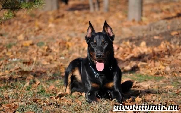 Босерон-собака-Описание-особенности-уход-и-цена-собаки-босерон-5