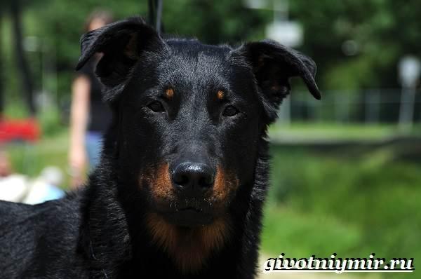 Босерон-собака-Описание-особенности-уход-и-цена-собаки-босерон-6