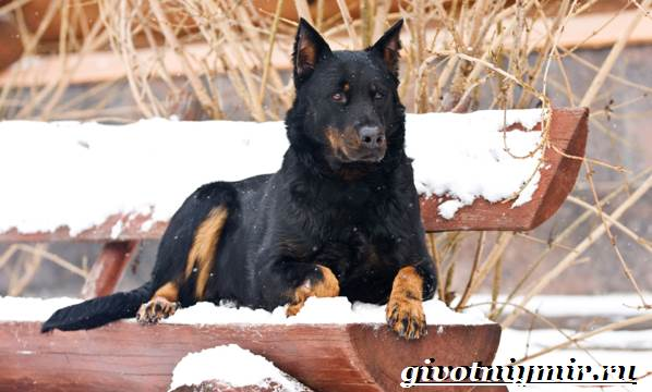Босерон-собака-Описание-особенности-уход-и-цена-собаки-босерон-8