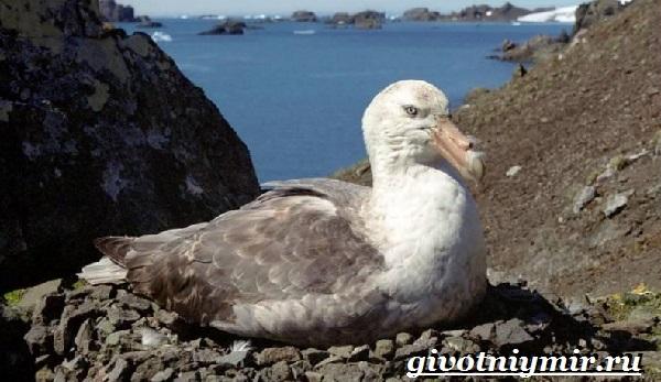 Буревестник-птица-Образ-жизни-и-среда-обитания-буревестника-10