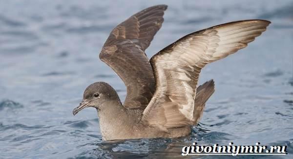 Буревестник-птица-Образ-жизни-и-среда-обитания-буревестника-2