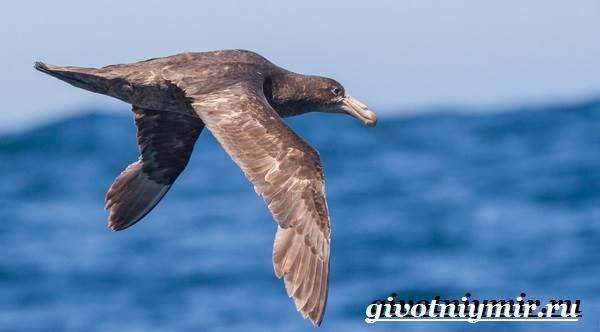 Буревестник-птица-Образ-жизни-и-среда-обитания-буревестника-3