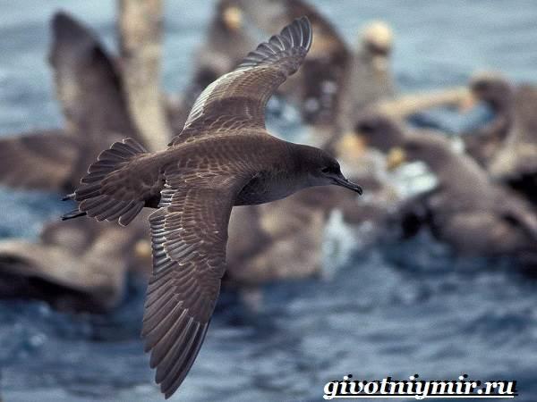 Буревестник-птица-Образ-жизни-и-среда-обитания-буревестника-4